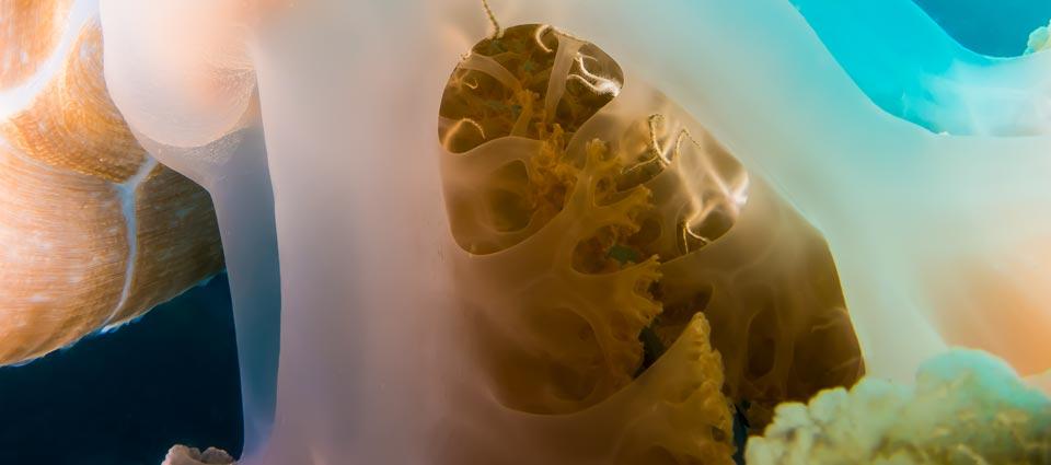 Koh Tao Diving Jellyfish