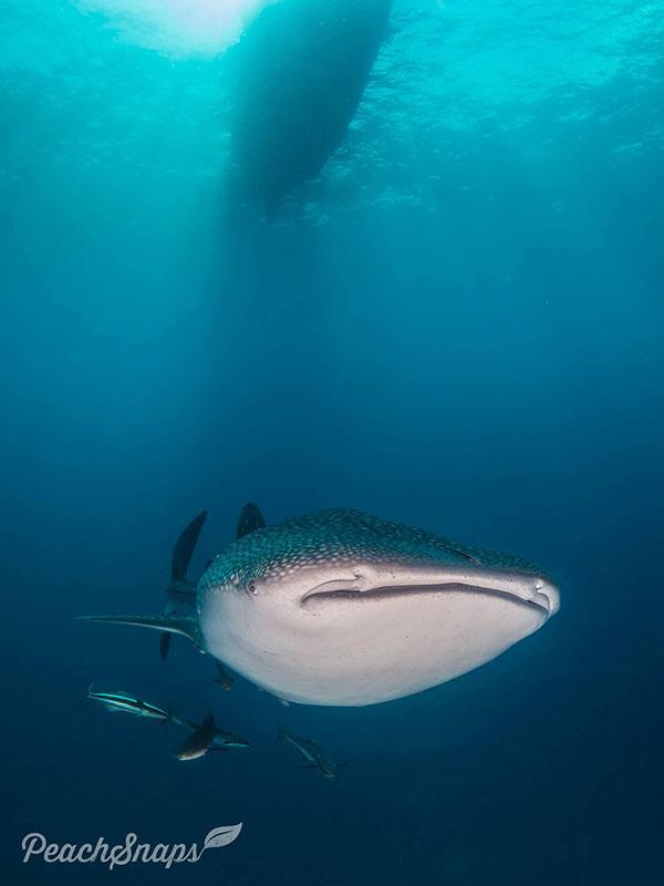 Underwater Photography Whaleshark