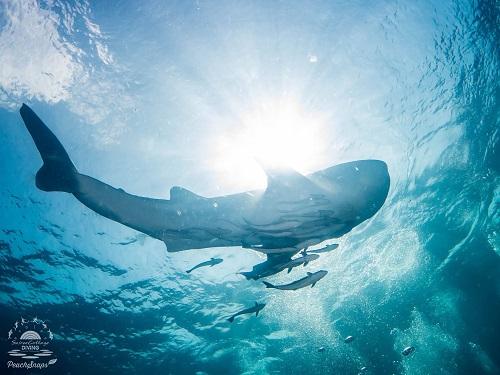 Whaleshark basking in the sun