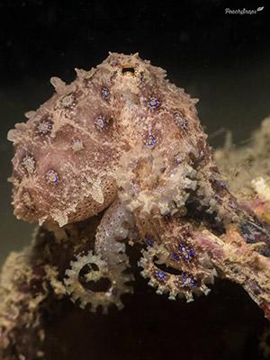 Inward Lighting Blueringed Octopus