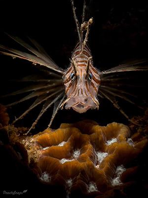 Lion Fish Inward Lighting