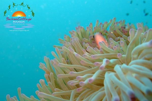 Paddy's Underwater Photo blog #4 Anemone Fish