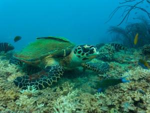 Sea Turtle Sairee Cottage Diving
