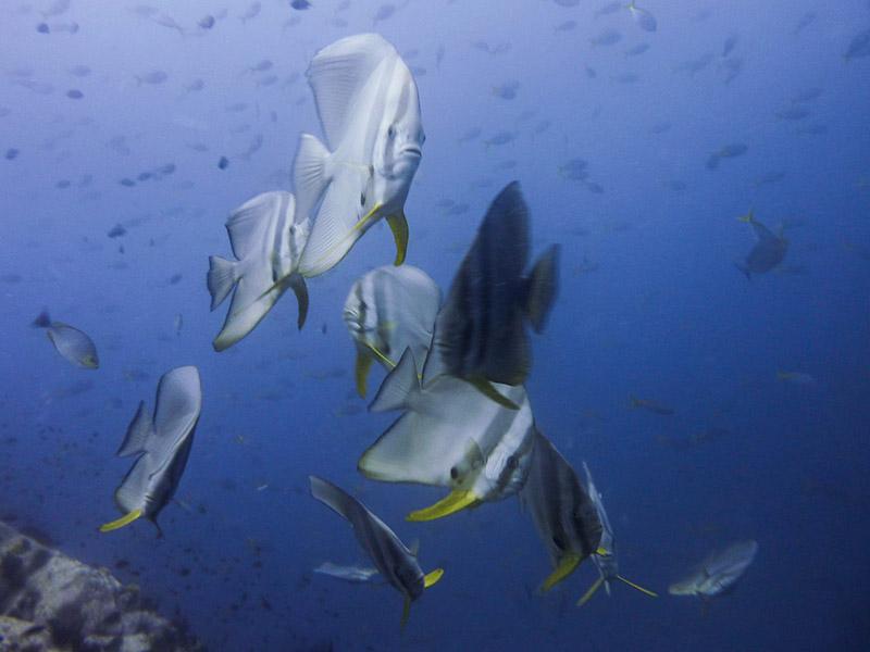 Diving Koh Tao with Orbicular Batfish
