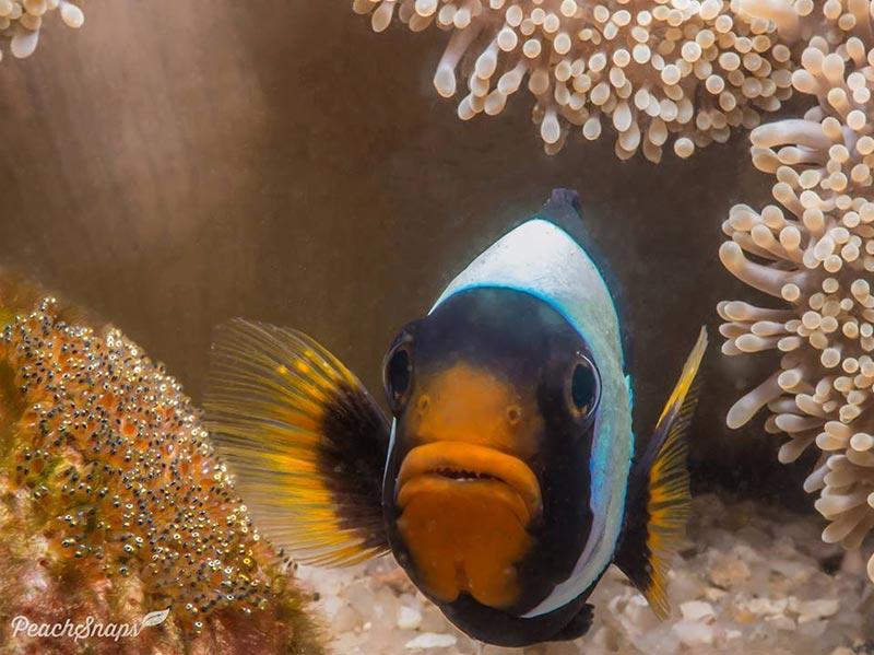Saddleback Anemone Fish Behavior Koh Tao