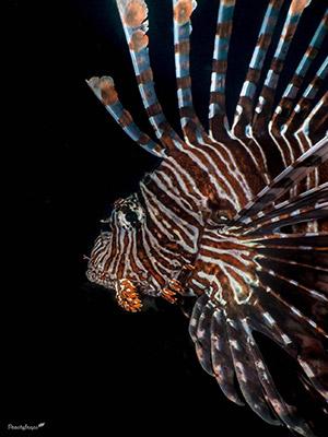 Fast Shutterspeed Underwater Photography Lion Fish