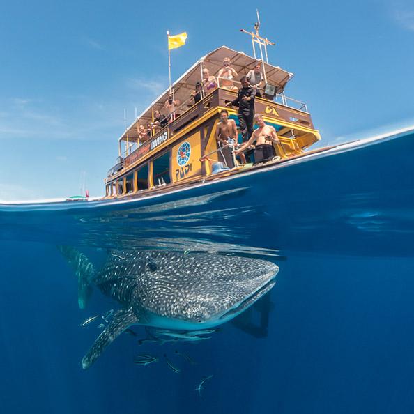 Whaleshark during the PADI Divemaster Course Koh Tao